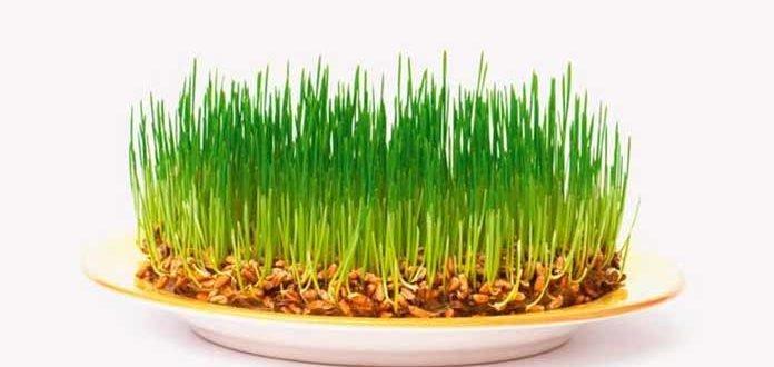 Пророщенные ростки пшеницы польза